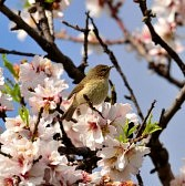 36647842-small-bird-canary-chiffchaff-on-almond-tree-in-full-bloom